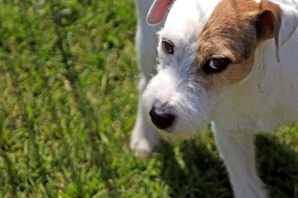 Jack Russell Terrier – The Devil's in the Eyes